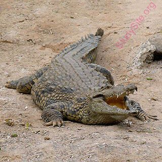 ea67cf6f8bd7 English to English Dictionary - Meaning of Crocodile in English is ...