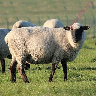 English to English Dictionary - Meaning of Sheep in English